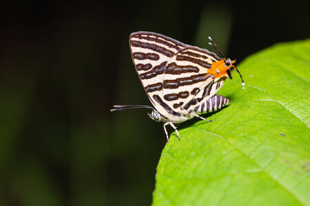 silverline: Close up of club silverline  Spindasis syama  butterfly perching on green leaf Stock Photo