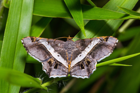 Close up of Semiothisa eleonora  or Godonela eleonora  moth perching on grass leaf in nature