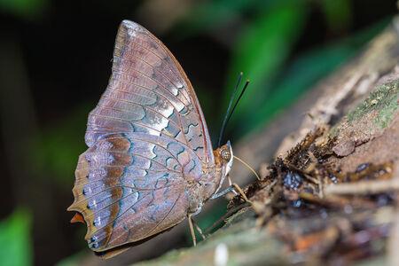 rajah: Close up of Tawny Rajah (Charaxes bernardus) butterfly puddling in nature