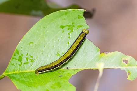 emigrant: Close up of Lemon Emigrant (Catopsilia pomona) caterpillar feeding on its host plant leaf