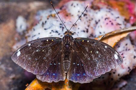 archduke: Close up of old male Blue-spot Archduke (Lexias albopunctata) butterfly feeding on fruit Stock Photo