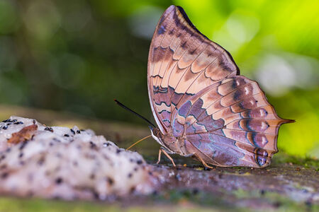 rajah: Close up of Tawny Rajah (Charaxes bernardus) butterfly feeding on fruit in nature