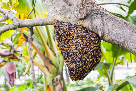 dorsata: A giant honey bee swarm hanging from tree branch