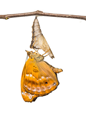 siamensis: Close up of newly born female Black Prince (Rohana tonkiniana siamensis) butterfly Stock Photo