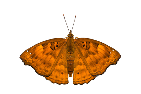 siamensis: Close up of female Black Prince (Rohana tonkiniana siamensis) butterfly, isolated on white background with clipping path