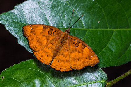 siamensis: Close up of female Black Prince (Rohana tonkiniana siamensis) butterfly perching on green leaves