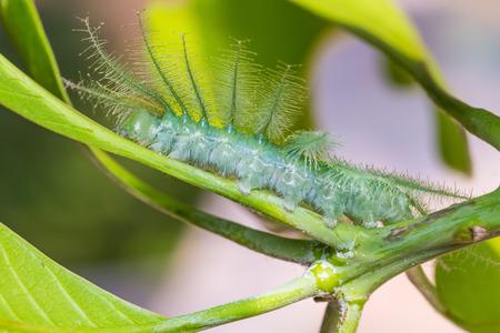 baron: Close up of Mango Baron (Euthalia aconthea garuda) caterpillar on its host plant