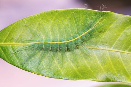 baron: Close up of Mango Baron (Euthalia aconthea garuda) caterpillar on its host plant leaf, dorsal view