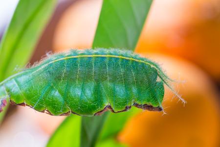 baron: Close up of Mango Baron (Euthalia aconthea garuda) caterpillar on its host plant leaf, side view Stock Photo