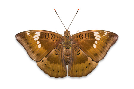 baron: Close up of female Mango Baron (Euthalia aconthea garuda) butterfly, isolated on white background with clipping path Stock Photo