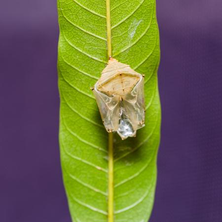 baron: Close up of Mango Baron (Euthalia aconthea garuda) pupal case after its emerging, square cropped