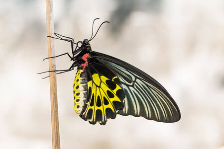 Close up of female golden birdwing (Troides aeacus) butterfly clinging on wood stick