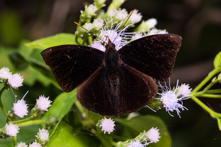 siamensis: Close up of male Black Prince (Rohana tonkiniana siamensis) butterfly perching on flower, dorsal view