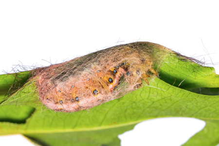 pupation: Close up of roseapple caterpillar (Trabala pallida walker) spinning silk to make its cocoon on green leaf before its pupation Stock Photo