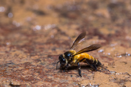 dorsata: Close up of giant honey bee in nature, side view
