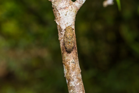 stomach bug: Close up of cicada clinging on the tree trunk, Thailand