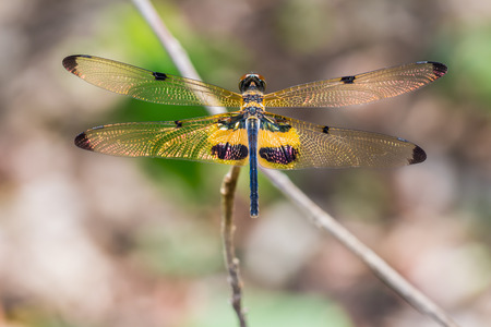 entomology: Close up of yellow-striped flutterer or yellow-barred flutterer (Rhyothemis phyllis) dragonfly in nature, dorsal view