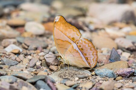 stomach bug: Close up of Large Yeoman (Cirrochroa aoris) butterfly puddling on the ground in nature Stock Photo