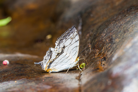 stomach bug: Close up of Common Map (Cyrestis thyodamas) butterfly puddling on the ground in nature