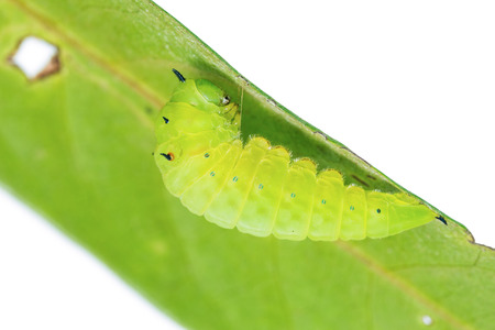 pupation: Close up of mature Tailed Jay (Graphium agamemnon) caterpillar prepares itself for pupation, on white background