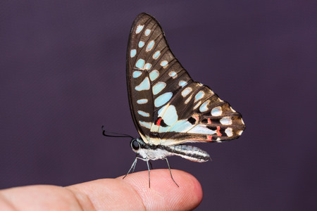 Close up of Common Jay (Graphium doson) butterfly perching on human finger photo