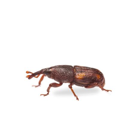 Close-up van volwassen rijst snuitkevers (Sitophilus oryzae) op witte achtergrond Stockfoto