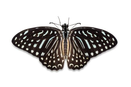 stomach bug: Close up of Spotted Zebra Graphium megarus butterfly dorsal view isolated on white background with clipping path