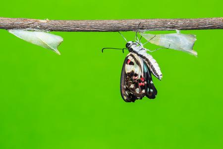 green jay: Cierre de recién nacido Mariposa común Jay Graphium Doson aferrarse sobre su caso de pupa al lado de otro pupa fresca fondo verde