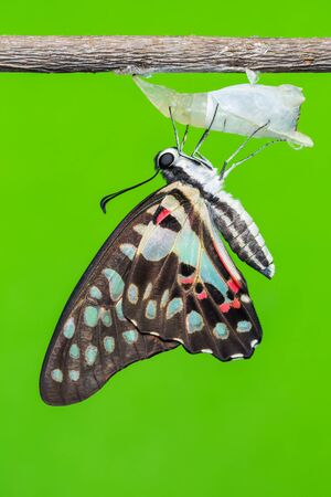 Close up of newly born Common Jay Graphium doson butterfly clinging on its pupal case green background photo
