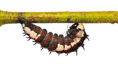 pupation: Close up of mature Common Mime (Papilio clytia) caterpillar prepares itself for pupation, on white background