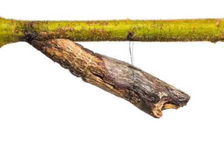 mimo: Cierre de común Mime Papilio crisálida pupa clytia sobre fondo blanco