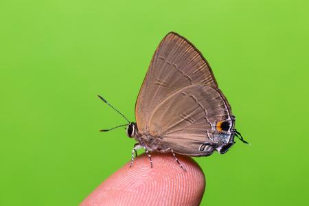 rapala: Close up of Slate Flash Rapala manea butterfly perching on human finger