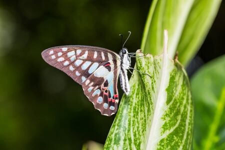 Close up of Common Jay Graphium doson butterfly clinging on green leaf in nature photo
