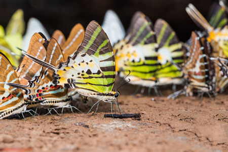 natures: Group of swordtail Graphium genus butterflies pudding on the ground in natures focusing on a Fivebar Swordtail Graphium antiphates butterfly