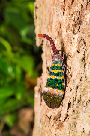 clinging: Close up of Pyrops karenia lantern bug or planthopper clinging on the tree trunk in nature