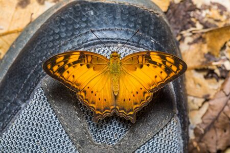 nymphalidae: Close up of Vagrant Vagrans sinha butterfly perching on hiking shoe dorsal view