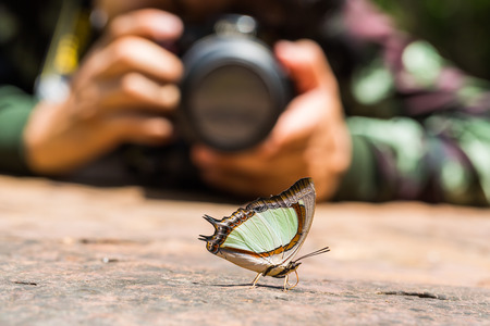 Close up of Emerald Nawab or Indian Yellow Nawab Polyura jalysus butterfly puddling on the ground in nature with a photographer in background