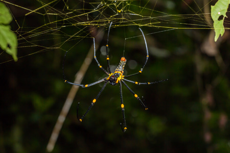 orb weaver: Close up of golden orb weaver or giant wood spider or banana spider Nephila pilipes on its web in nature ventral view Stock Photo