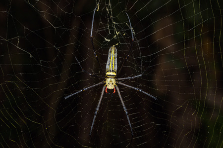 orb weaver: Close up of golden orb weaver or giant wood spider or banana spider Nephila pilipes on its web in nature dorsal view