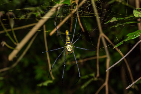 wood spider: Close up of golden orb weaver or giant wood spider or banana spider Nephila pilipes on its web in nature dorsal view