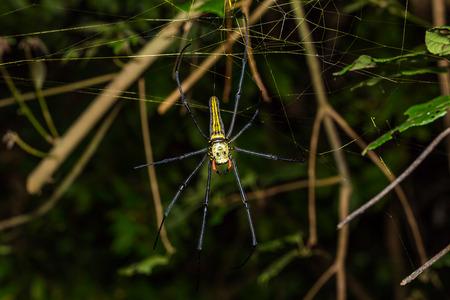 golden orb weaver: Primo piano di Golden orb tessitore o ragno gigante in legno o banana ragno Nephila pilipes sul suo web in natura vista dorsale Archivio Fotografico
