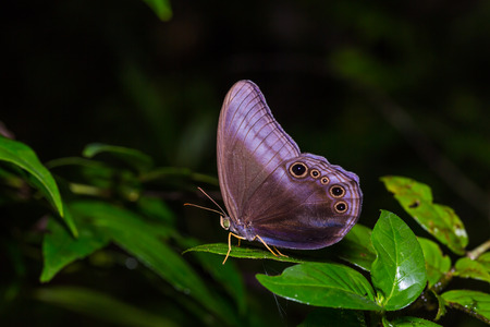 Close up of Scarce Catseye Coelites nothis nothis butterfly perching on green leaf in nature