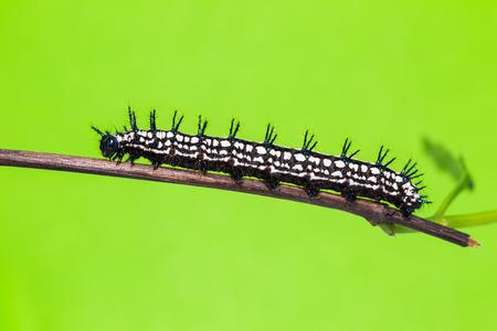 stomach bug: Close up of Autumn Leaf Doleschallia bisaltide caterpillar on its host plant stem green background Stock Photo