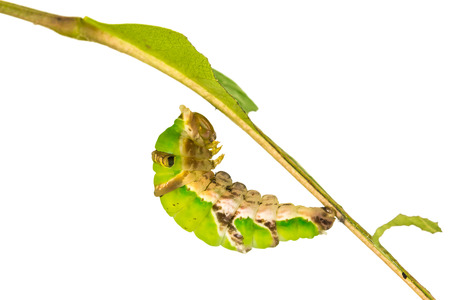 pupation: Close up of mature Banded Swallowtail Papilio demolion caterpillar preparing itself for pupation isolated on white background with clipping path