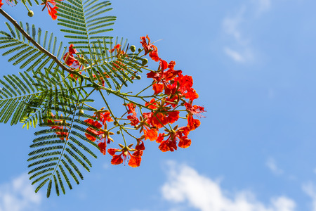 flamboyant: Nature background of Flamboyant flower against clear blue sky with copy space Stock Photo