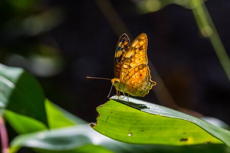 vagrant: Close up of Vagrant Vagrans sinha butterfly sunbathing on green leaf