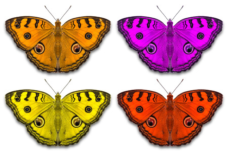 stomach bug: Close up of fancy color Peacock Pansy Junonia almana butterflies, isolated on white background with clipping path