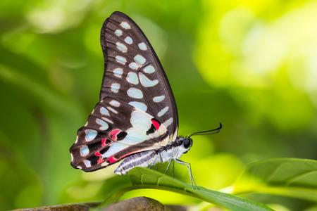 green jay: Cierre de mariposa Com�n Jay Graphium Doson posarse en la hoja verde en la naturaleza