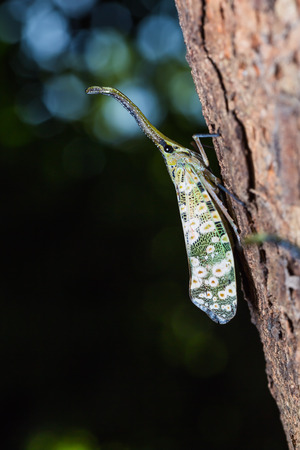 cicada bug: Close up of Pyrops spinolae lantern bug or planthopper clinging on the tree trunk in nature Stock Photo