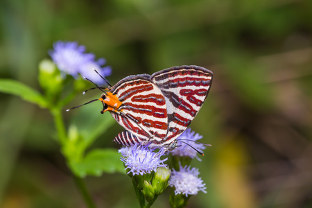 silverline: Close up of Long-banded Silverline Cigaritis lohita butterfly feeding on flower in nature